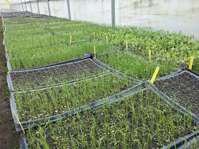Seedlings in Zenger Farm greenhouses.