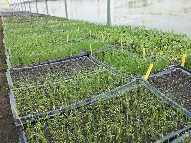 Seedlings in Zenger Farm greenhouses.